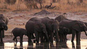 55 elefantes mueren en Zimbabue tras sequía