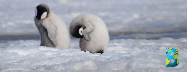 Bahía Halley pierde casi en su totalidad una colonia de pingüinos