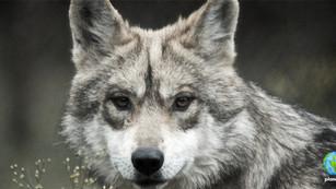 Trump pone en peligro a lobos grises mexicanos con su nuevo plan de recuperación