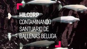 Derrame de petróleo afecta la población de 340 ballenas beluga
