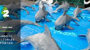AMLO retira apoyo a vaquita marina y podría extinguirse este año