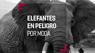 Myanmar tiene sólo 2 mil elefantes y podrían desaparecer por una moda