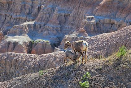 Angela Ferrell, Bighorn Sheep, Badlands
