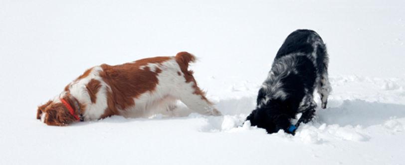 honden-in-de-sneeuw.jpg