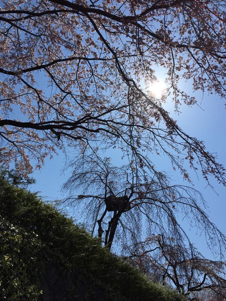 京都の桜はそろそろ見ごろです