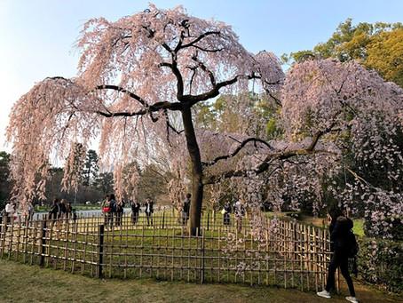 京都御所の桜がだいぶ咲いてきました