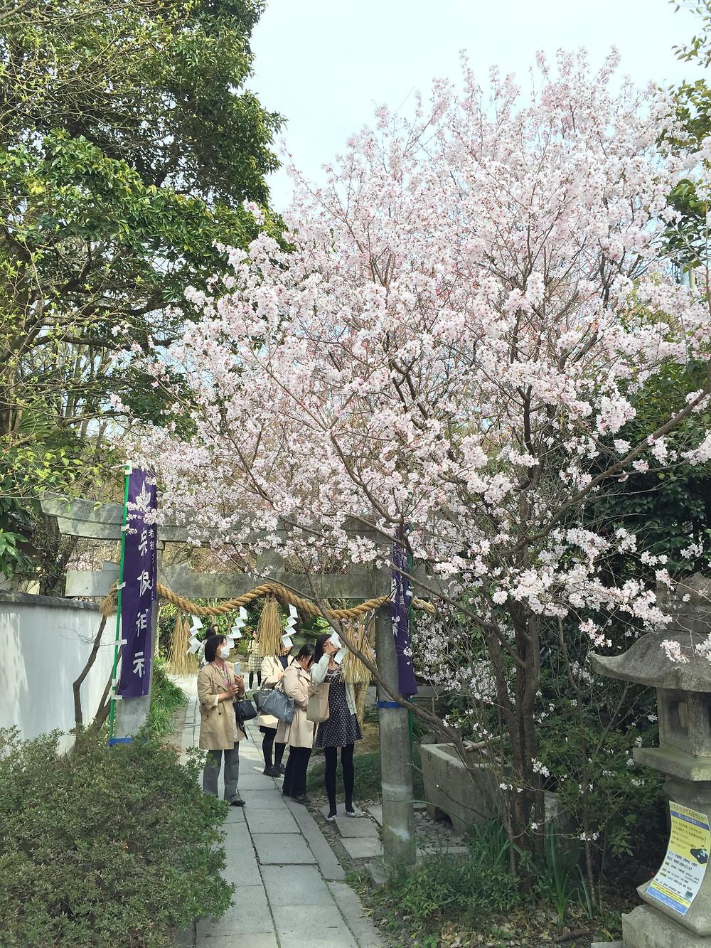 京都御所の桜|京都 パーソナルトレーニング MOVEMENT