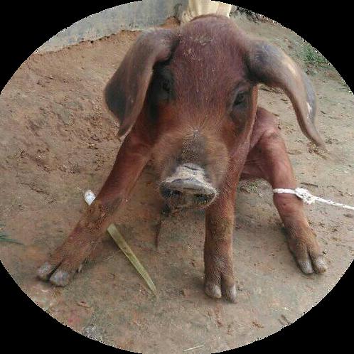 Piglets - Nepali Swine Futures (Livestock) $100