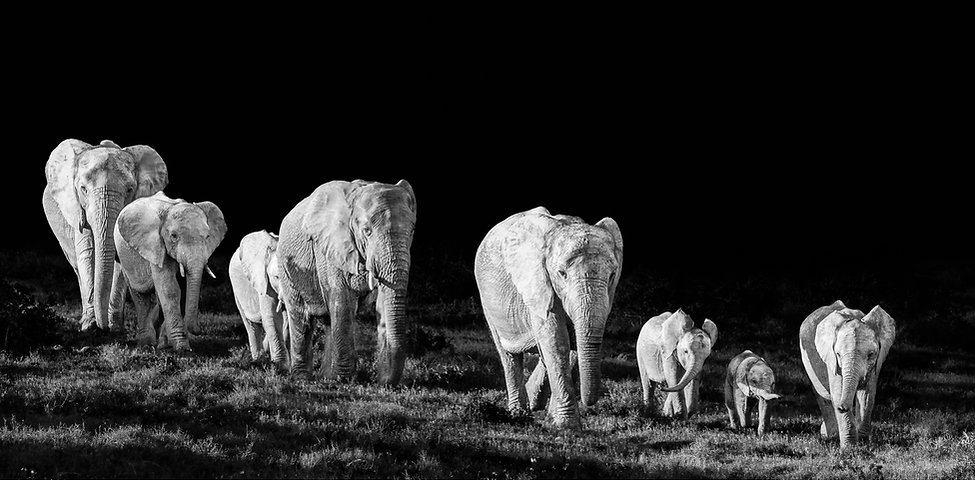 elephants, photography, black and white