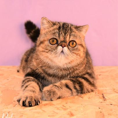 Voksne katte-2.jpg