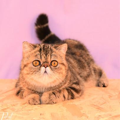 Voksne katte-3.jpg