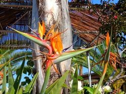 Bird Of Paradise Flower / Plant