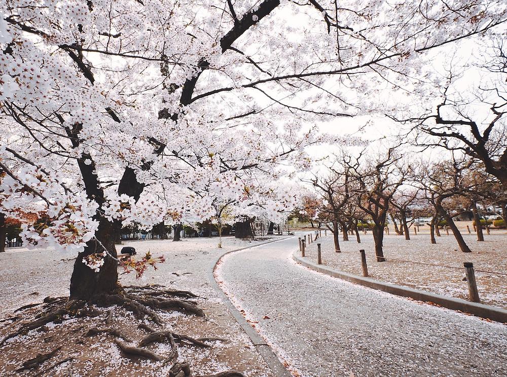 Sakura (fiori di ciliegio) in Giappone