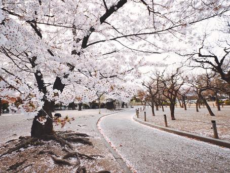 Fioritura dei ciliegi 2020: quando e dove vedere i Sakura in Giappone