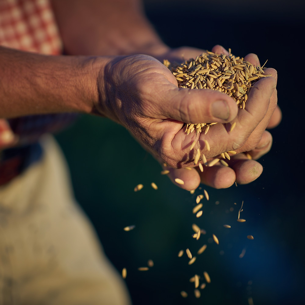 Man holding grains of rice to be made into vodka