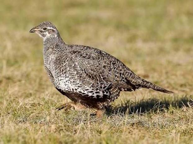 Gunnison sage grouse hen