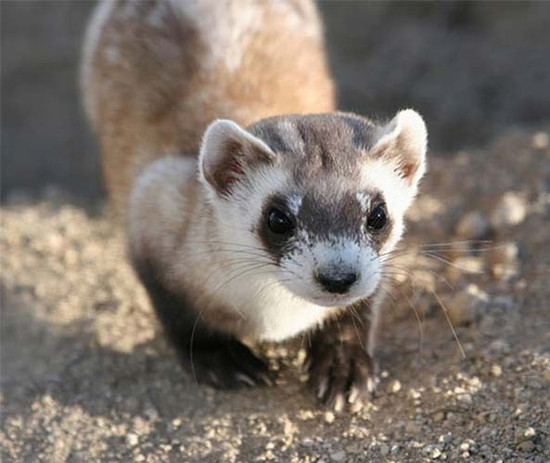A curious Black footed ferret