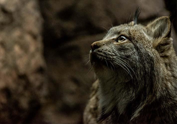 Canada_Lynx_Abigail-Brodsky.jpg