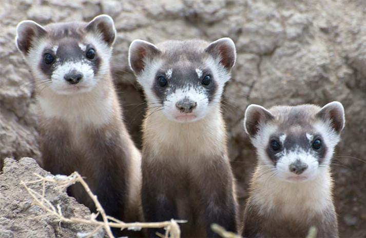 Black footed ferret stoats (young)
