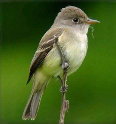 Southwestern-Willow-Flycatcher_NPS.jpg