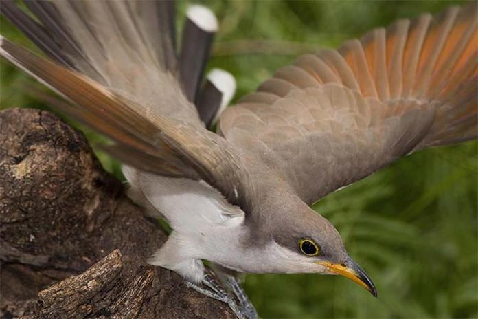 w1_yellow-billed_cuckoo_audubon.jpg