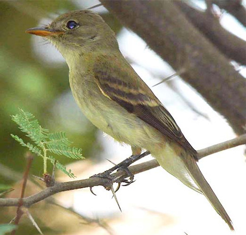 Southwestern_Willow_Flycatcher_wikipedia