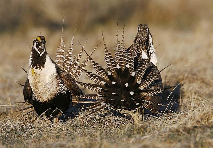 Gunnison sage grouse cocks fighting
