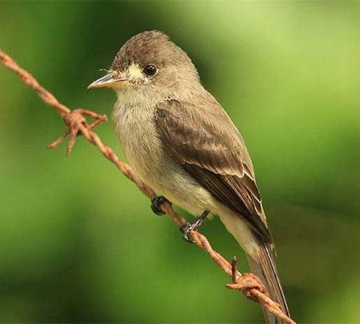 Southwestern-Willow-Flycatcher_FWS.jpg