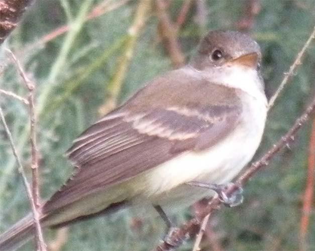 Southwestern_willow_flycatcher_Empidonax