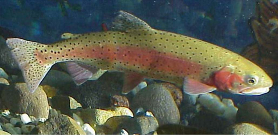 Greenback cutthroat trout