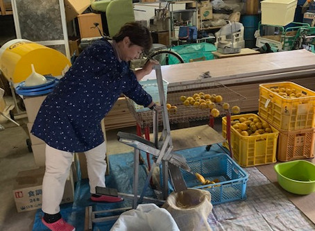 はじめての柚子収穫