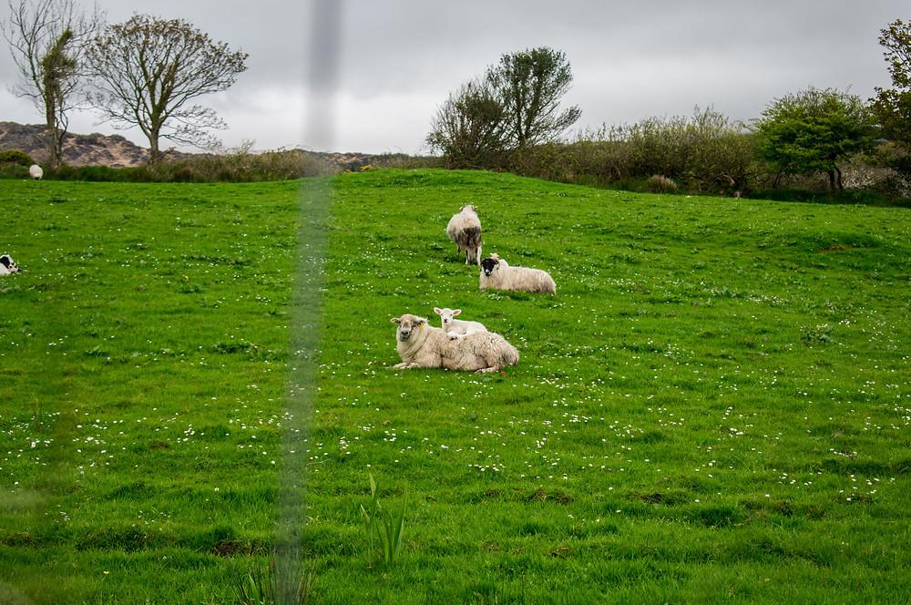 Lady Mac Lifestyle lambs