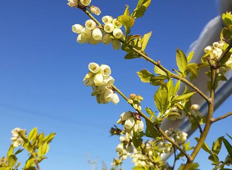 今年も咲いてます。ブルーベリーの花