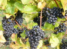 Vineyard Photoshoot Grapes