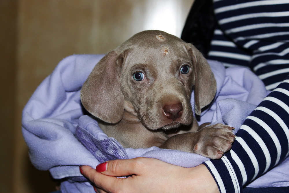 Pyoderma in puppies