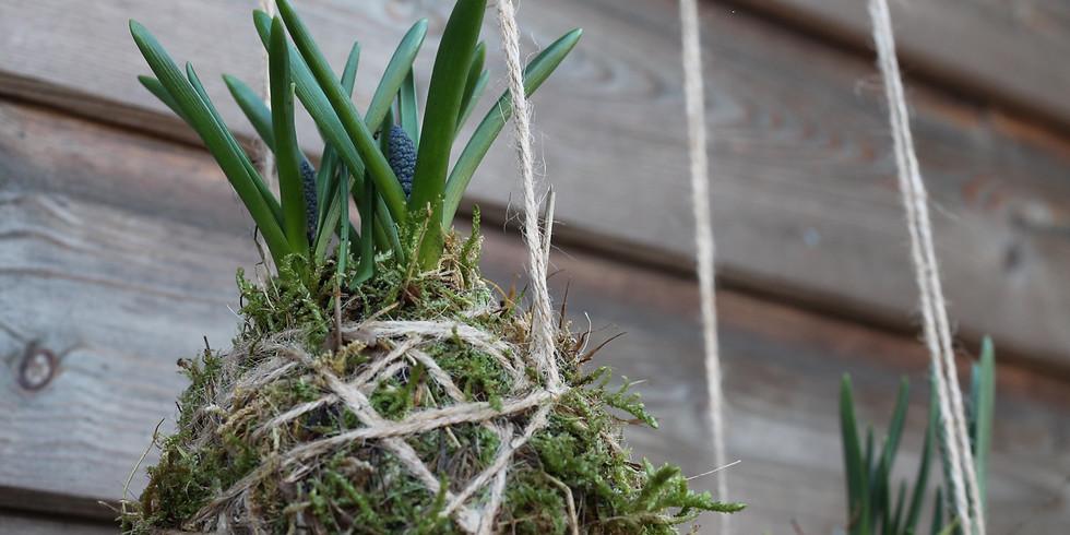 Kokedama with Spring bulbs