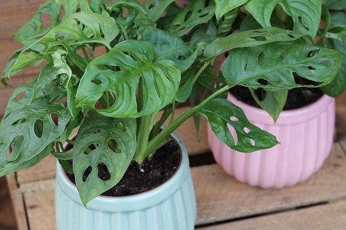 Monstera plant in pot