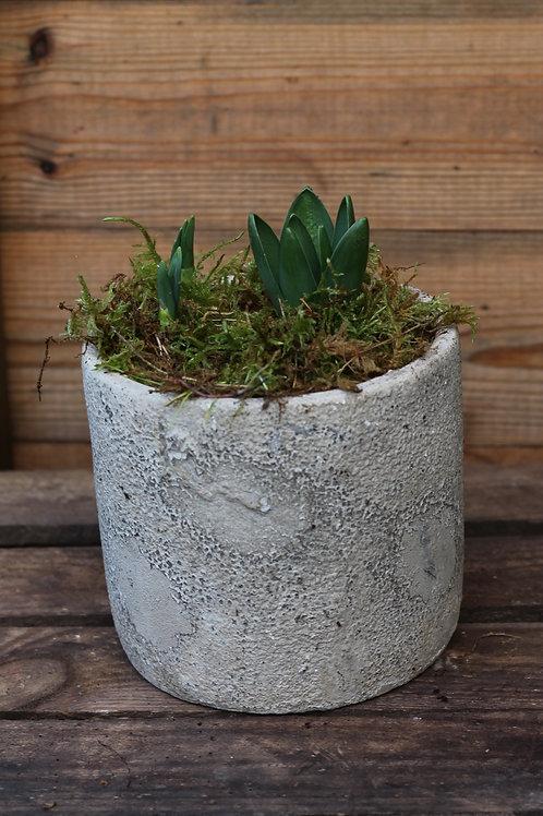 Tête-à-tête & hyacinth in rustic pot (x2)