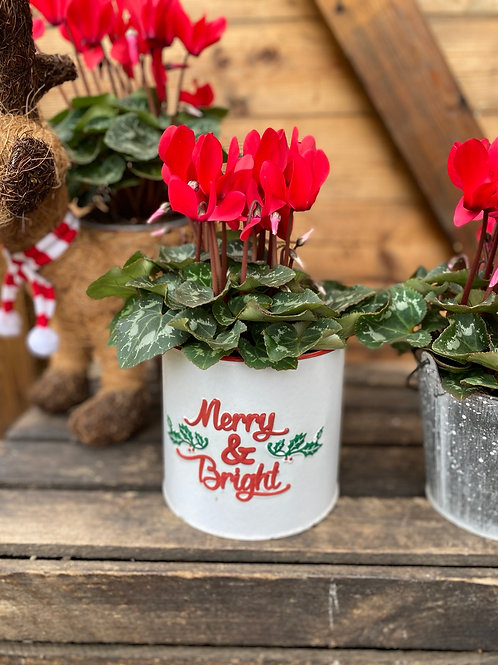 Merry & Bright planter with cyclamen