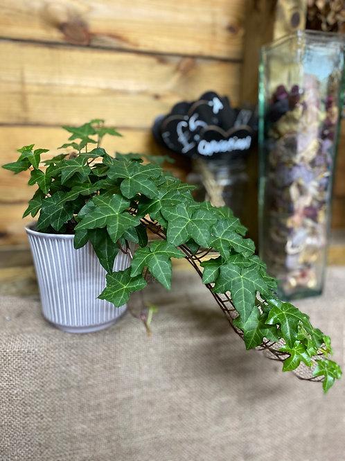 Trailing Ivy - in grey pot