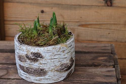 Tête-à-tête in birch pot (x2)