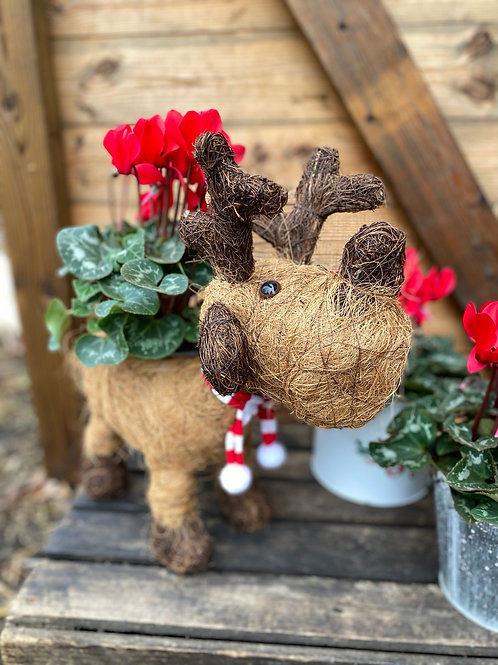 Reindeer planter with Cyclamen
