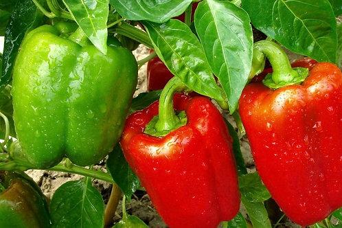 Bell pepper plant starter - 9cm pot