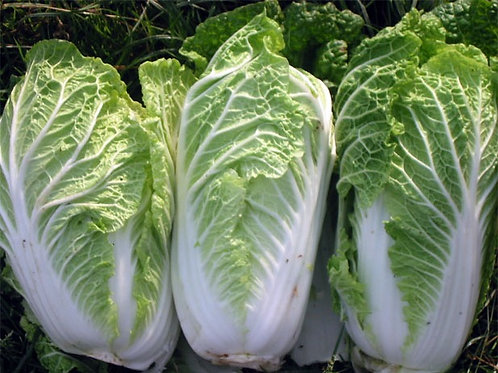 Chinese cabbage plant starter - 9 cell tray