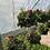 Thumbnail: Summer hanging basket