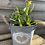 Thumbnail: Spring bulbs and ivy  in zinc heart pot