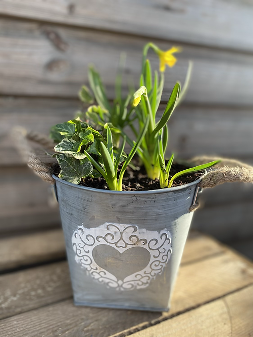Spring bulbs and ivy  in zinc heart pot