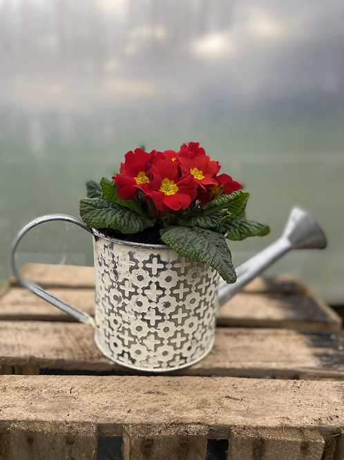Spring plant/bulbs in watering can pot