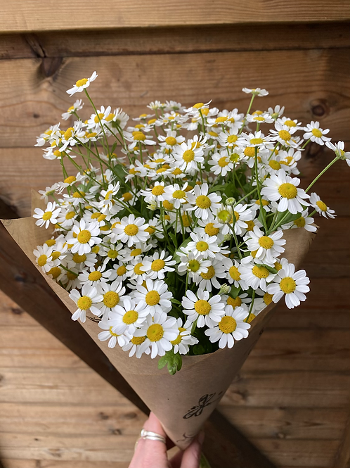 Feverfew (daisies) - 9cm pot