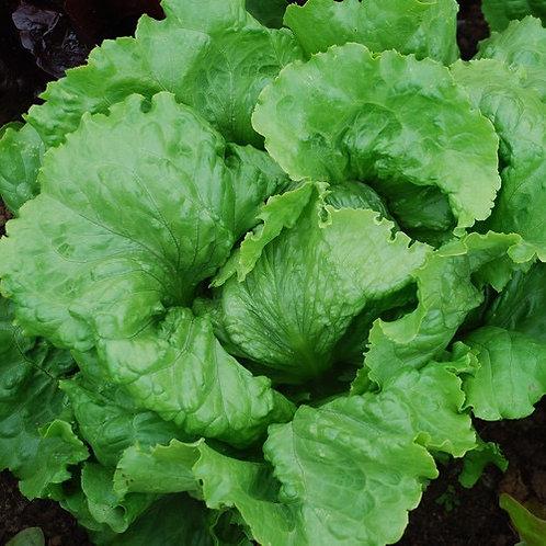 Webbs wonder lettuce plant starter - 9 cell tray